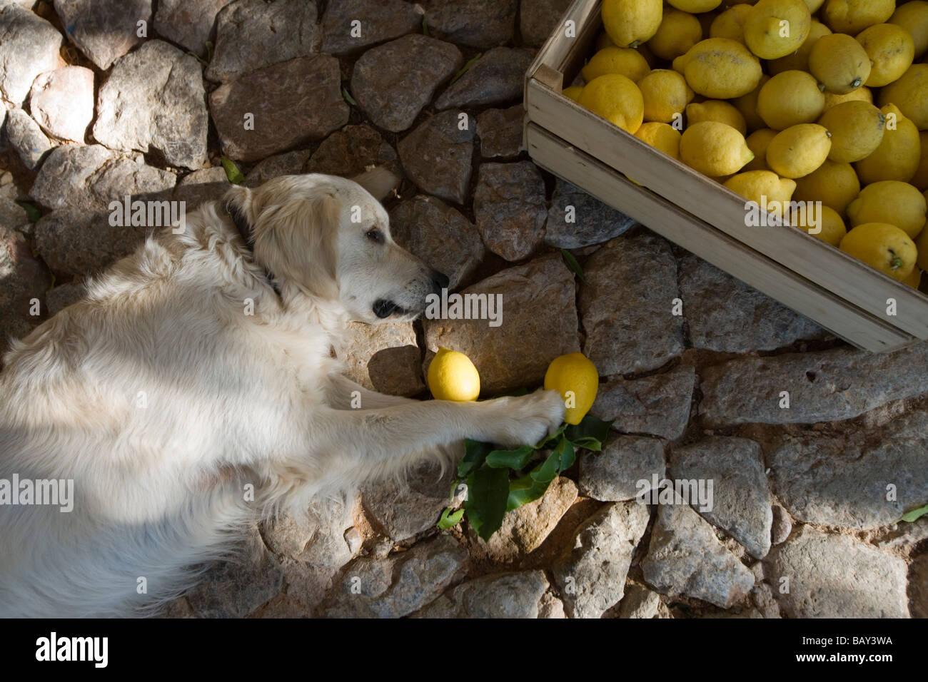 Max Loves Lemons, Resident Dog at Finca Hotel CanColl, Soller, Mallorca, Balearic Islands, Spain - Stock Image
