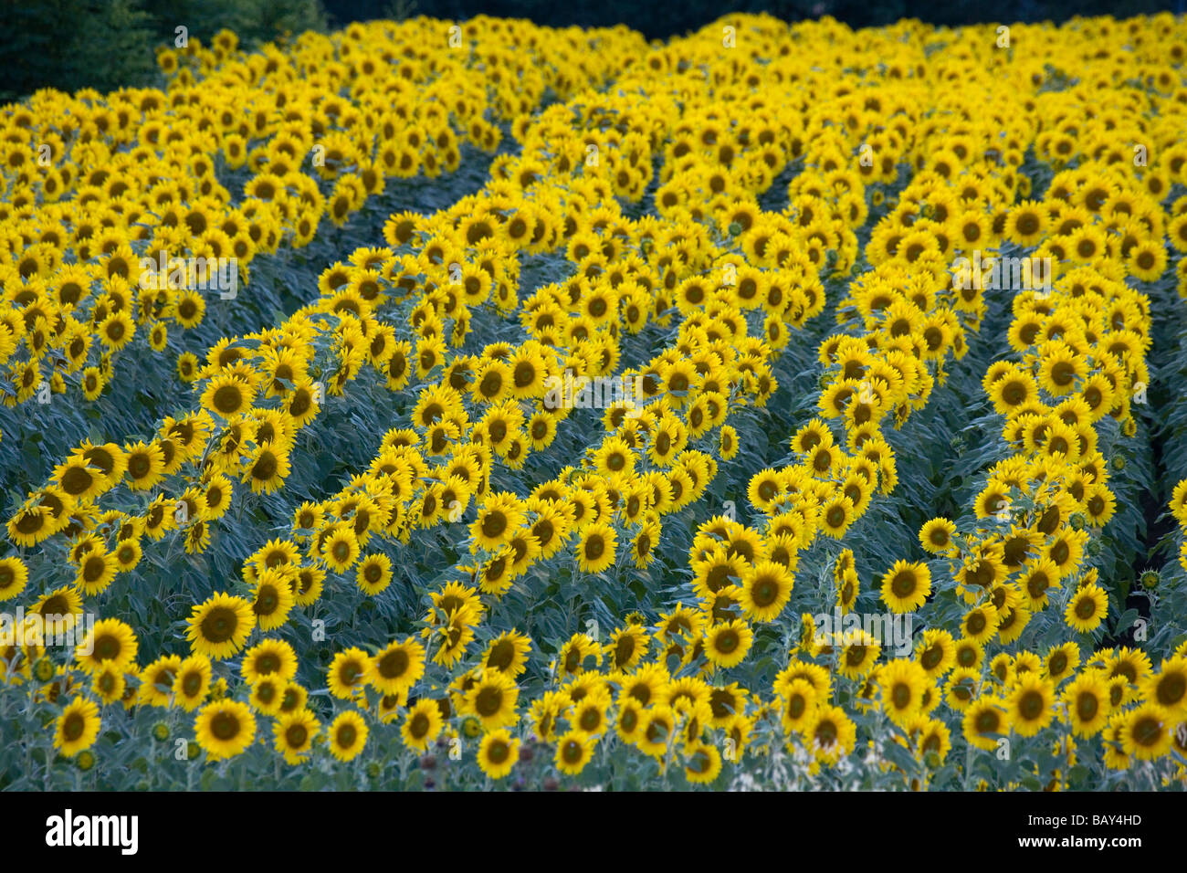 Blooming sunflower field, Alpes-de-Haute-Provence, Provence, France - Stock Image