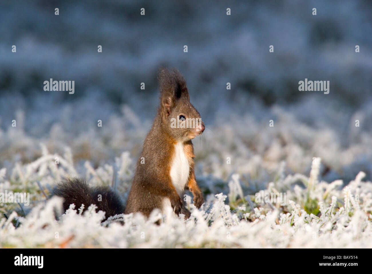 Red Squirrel at whitefrost, winter, Bavaria, Germany, Sciurus vulgaris Stock Photo