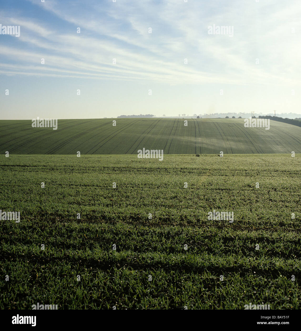 View young barley seedling crop with balooned spiders webs and early morning - Stock Image
