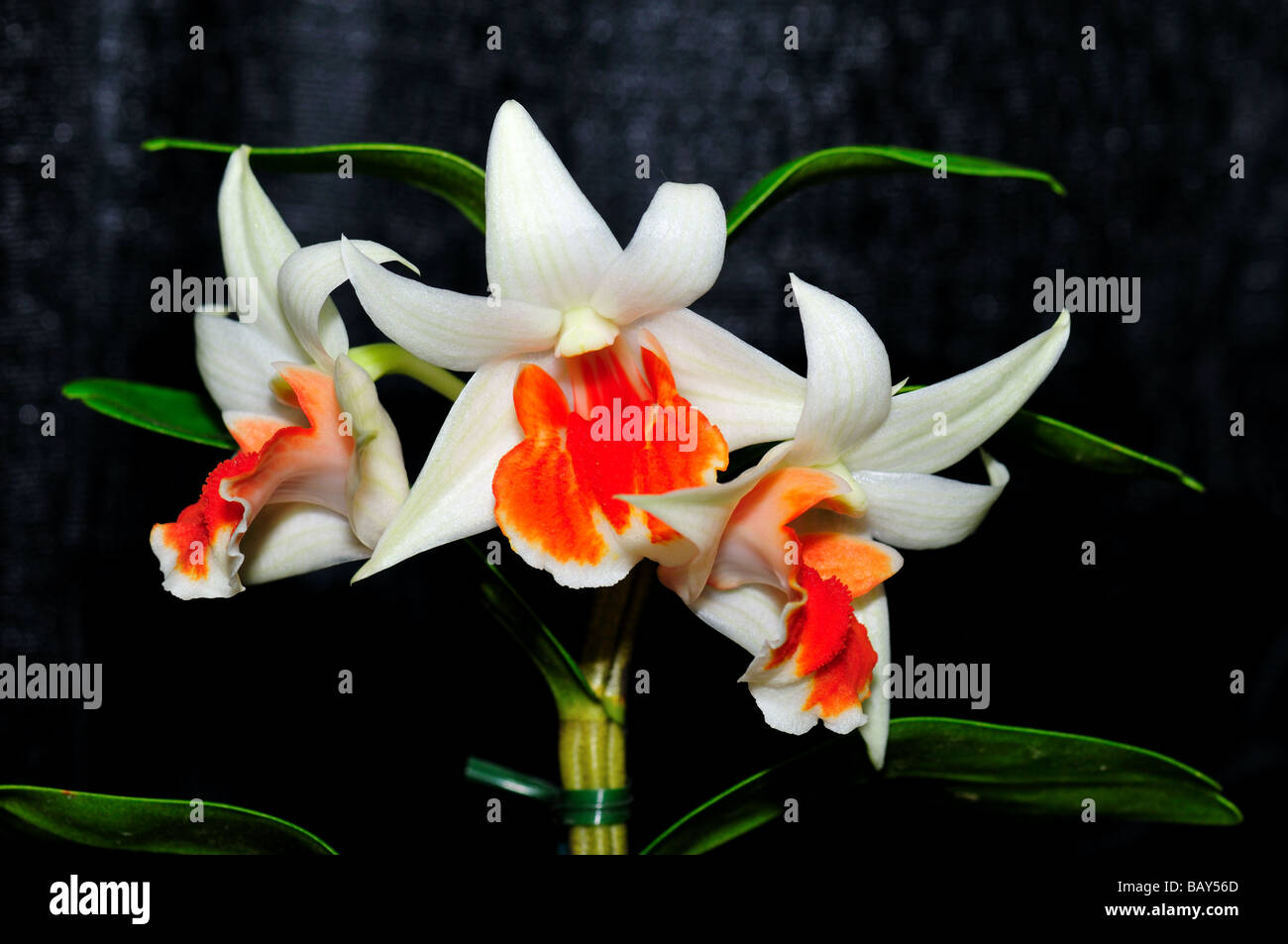 Orchid Flowers White Orange Dendrobium Stock Photo 23953733 Alamy