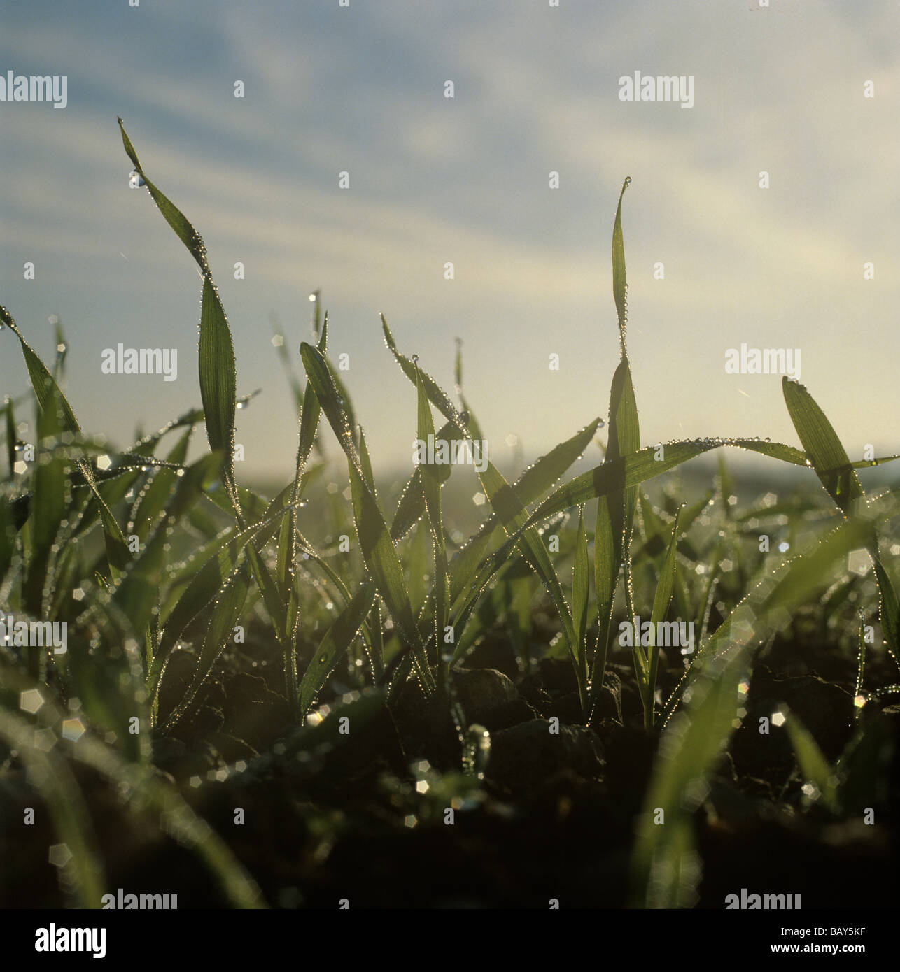 Dew drops of winter barley seedlings in early morning misty autumn light Stock Photo