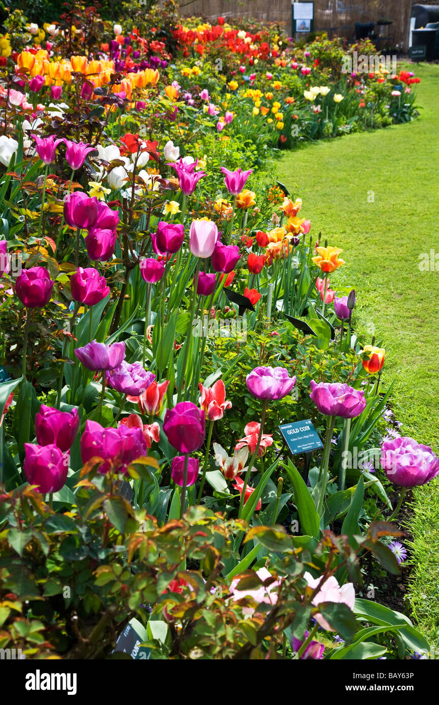 Many different varieties of brightly coloured tulips in a border at Abbey House Gardens Malmesbury Wiltshire England - Stock Image