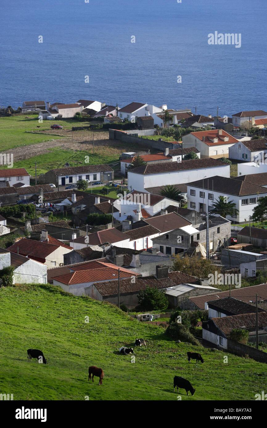 Cows grazing in hills above Agua Retorta, Azores, Portugal - Stock Image