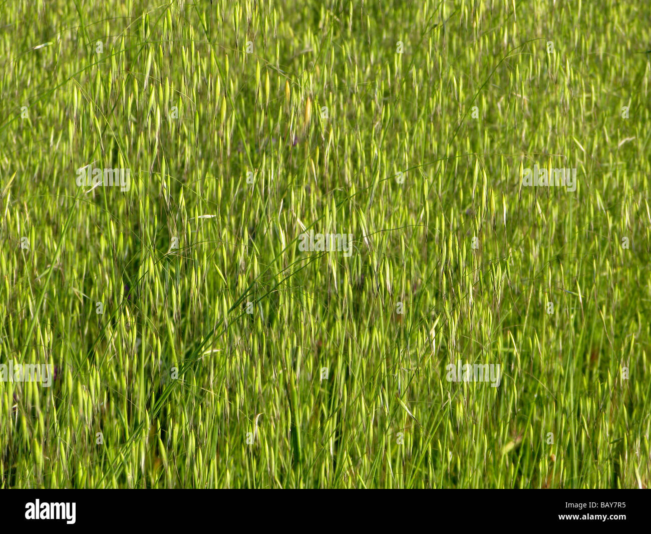 in a Summer field wild Graminaceae used for pasture Stock Photo