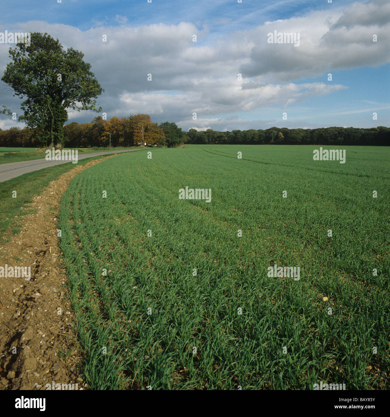 Young barley crop beside a country road with autumn trees Wiltshire - Stock Image