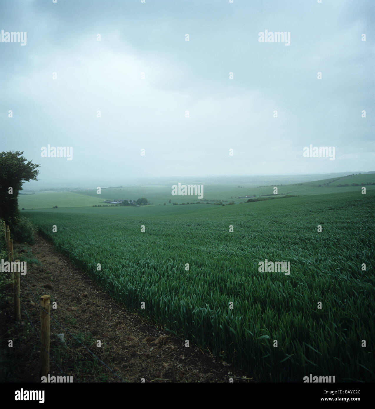 A wheat crop in ear on an overcast and rainy day Oxfordshire - Stock Image