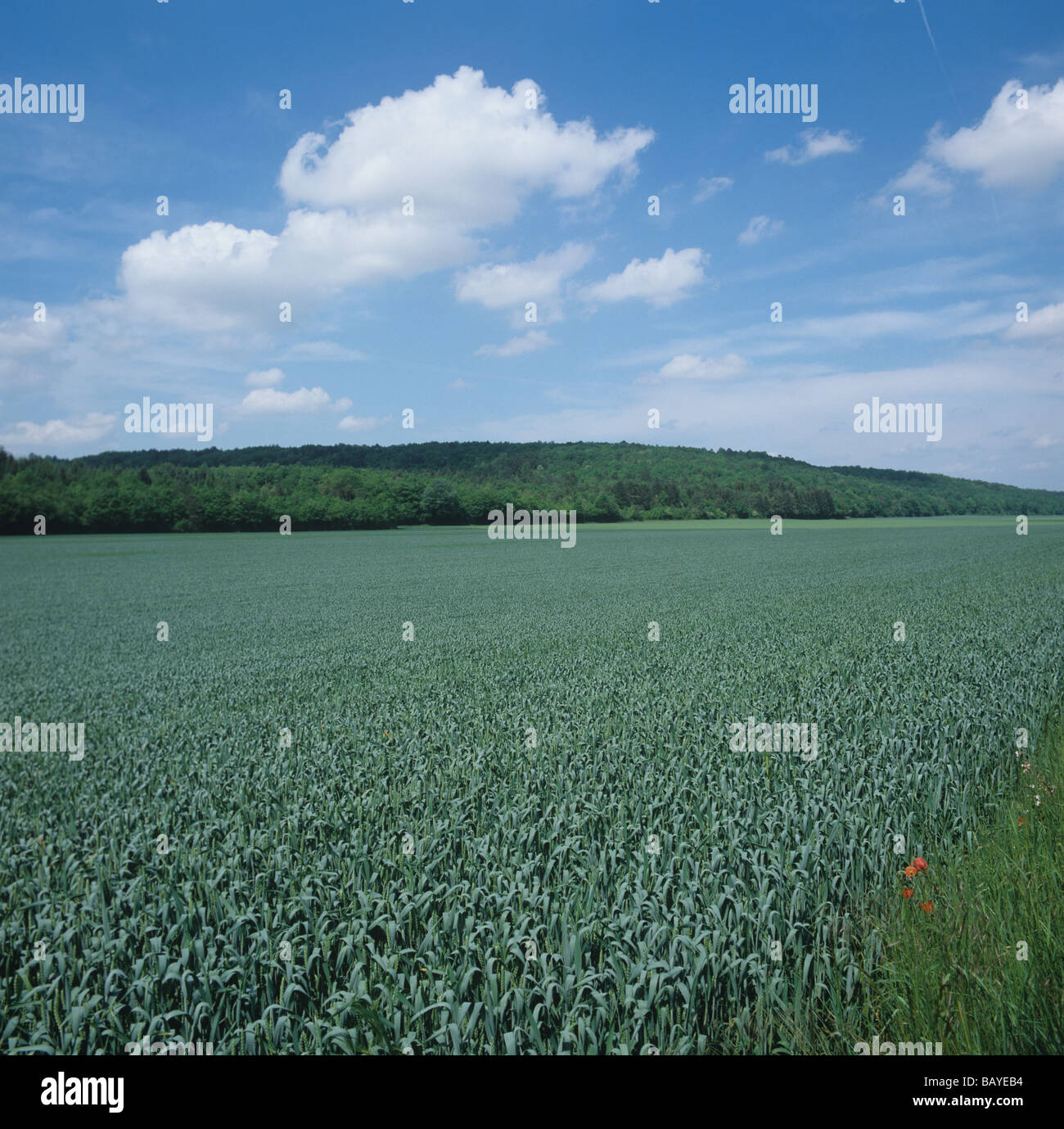 Wheat crop at flagleaf stage on a fine summer day France - Stock Image