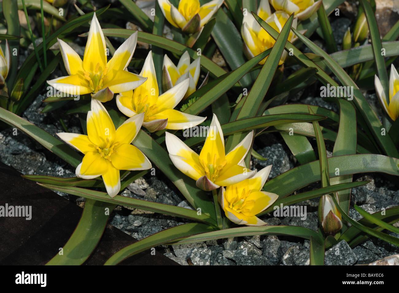Flowering miniature tulip Tulipa tarda - Stock Image