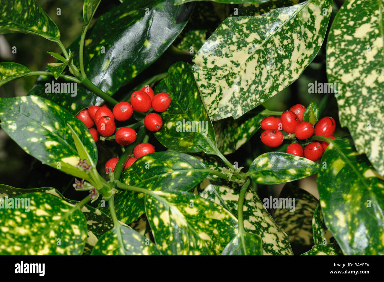 Spotted laurel Aucuba japonica variegated foliage and ripe red berries - Stock Image