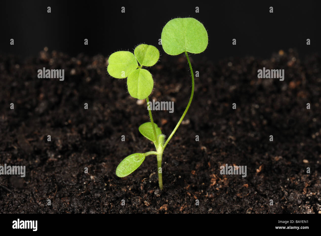 Red clover Trifolium pratense seedling plant cotyledons and two true leaves - Stock Image