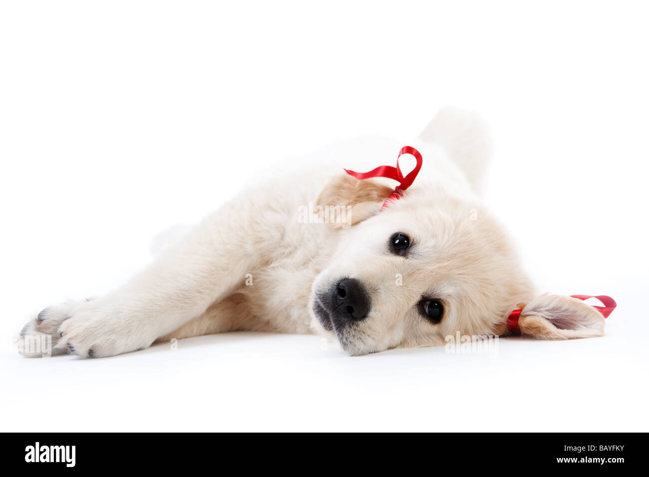 Tired cute retriever puppy resting with red bows - Stock Image