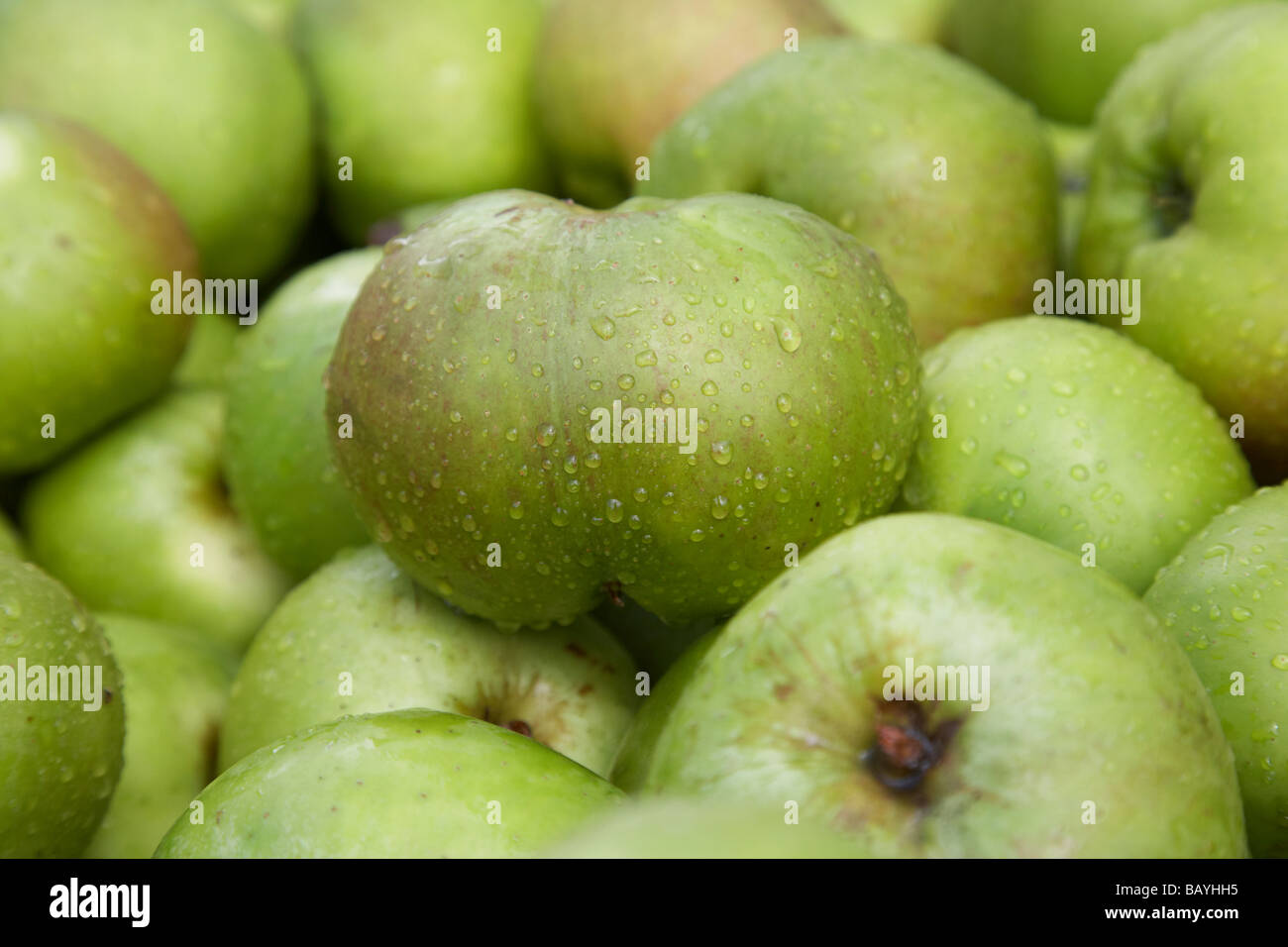 malus domestica Bramley Seeling apple crop of armagh bramley apples - Stock Image