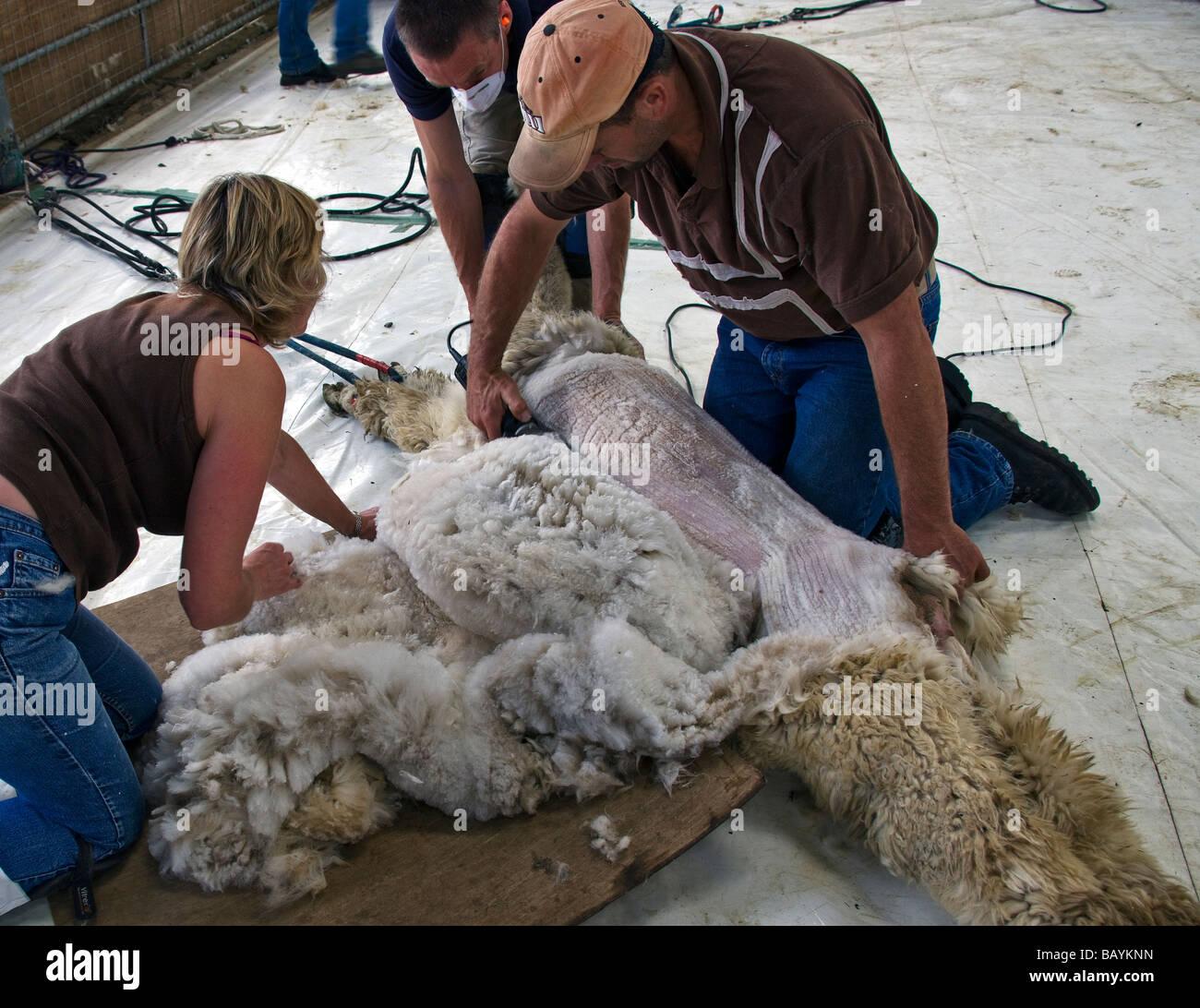 An Alpaca, Lama pacos,  being shorn of it's fleece. - Stock Image