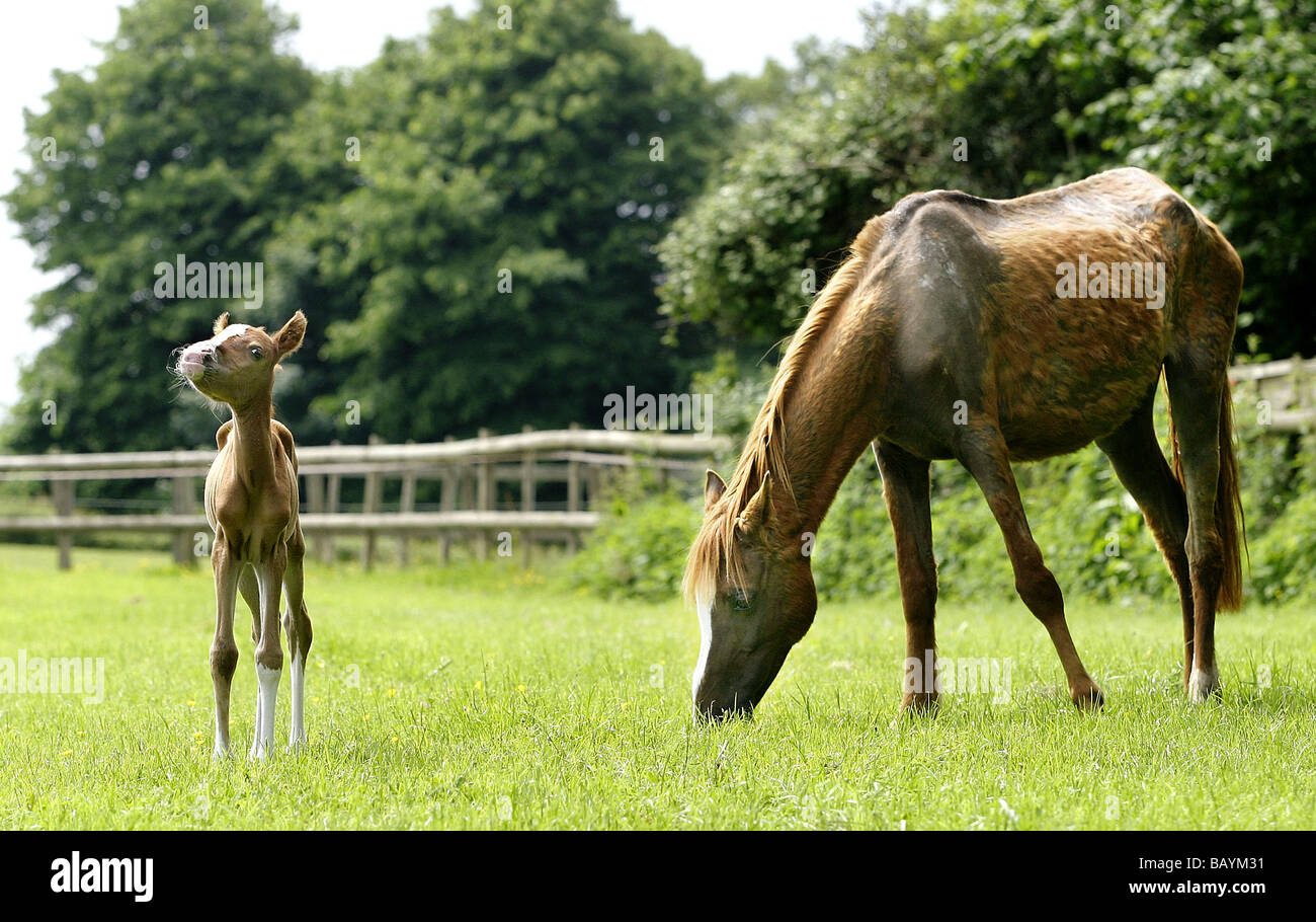 Mother and foal enjoy their first outing to a paddock after being rescued by the Northiam Blue Cross Animal Welfare - Stock Image