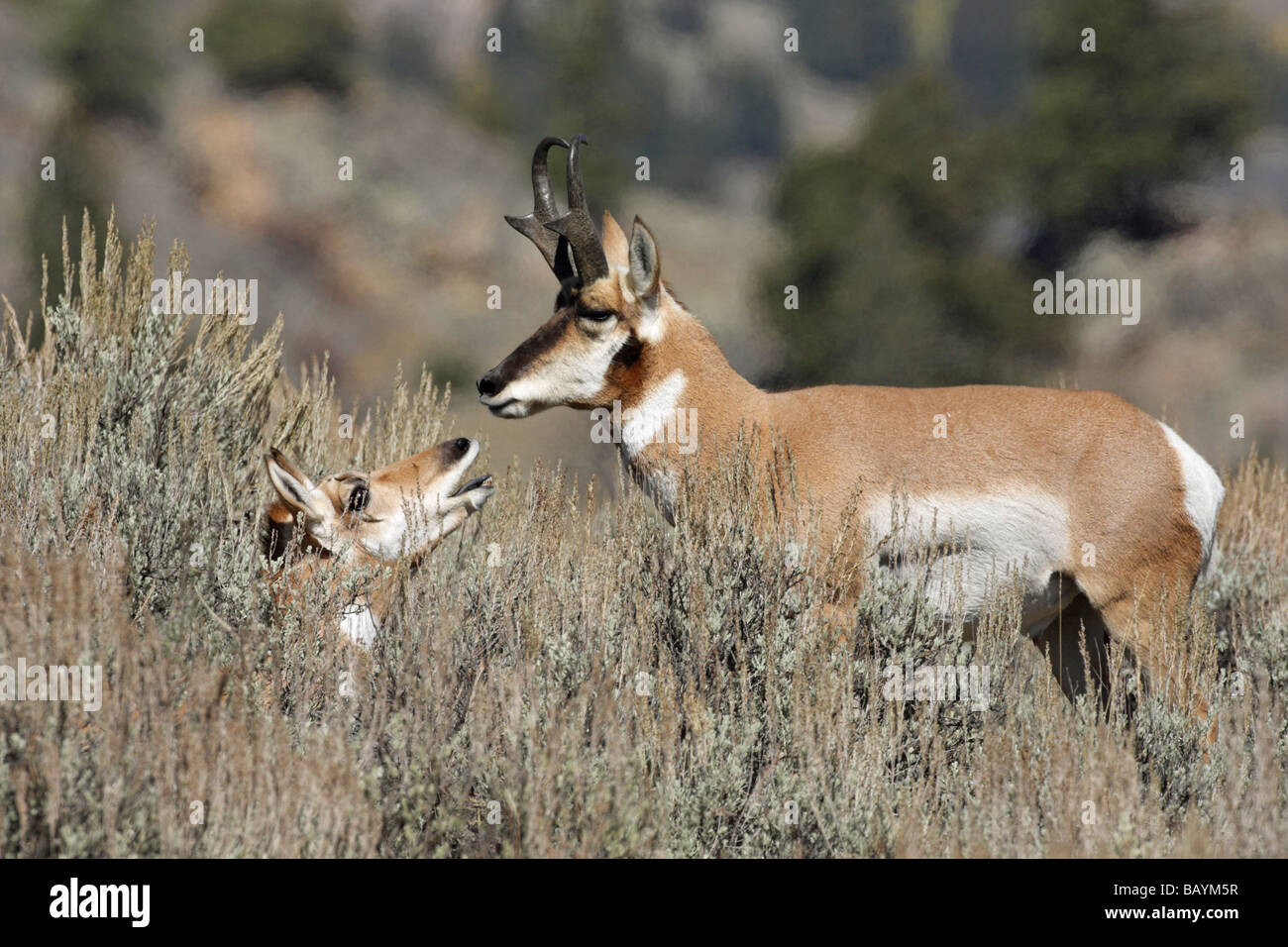 Pronghorn Antelope Antilocapra americana male with female in the sage brush - Stock Image