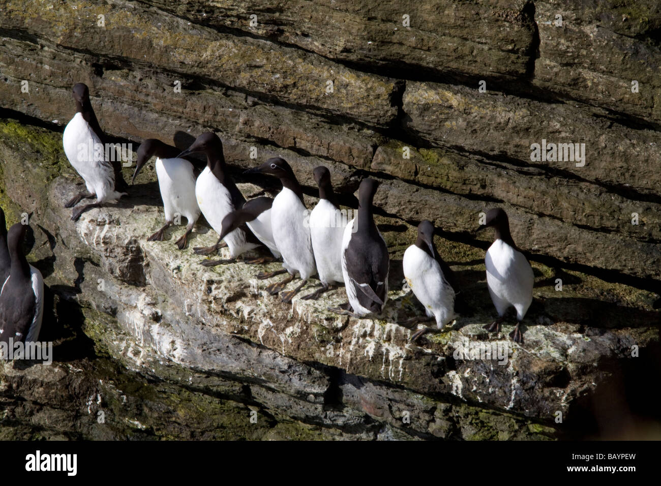 Birds on Cliff on Hoy Stock Photo