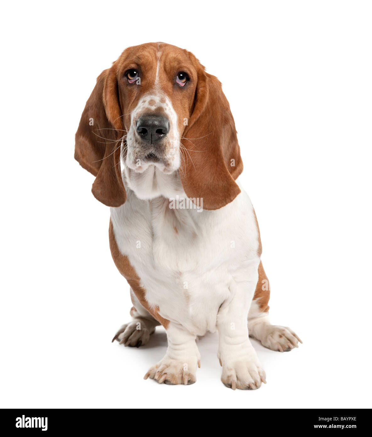 Basset Hound 1 year old in front of a white background - Stock Image