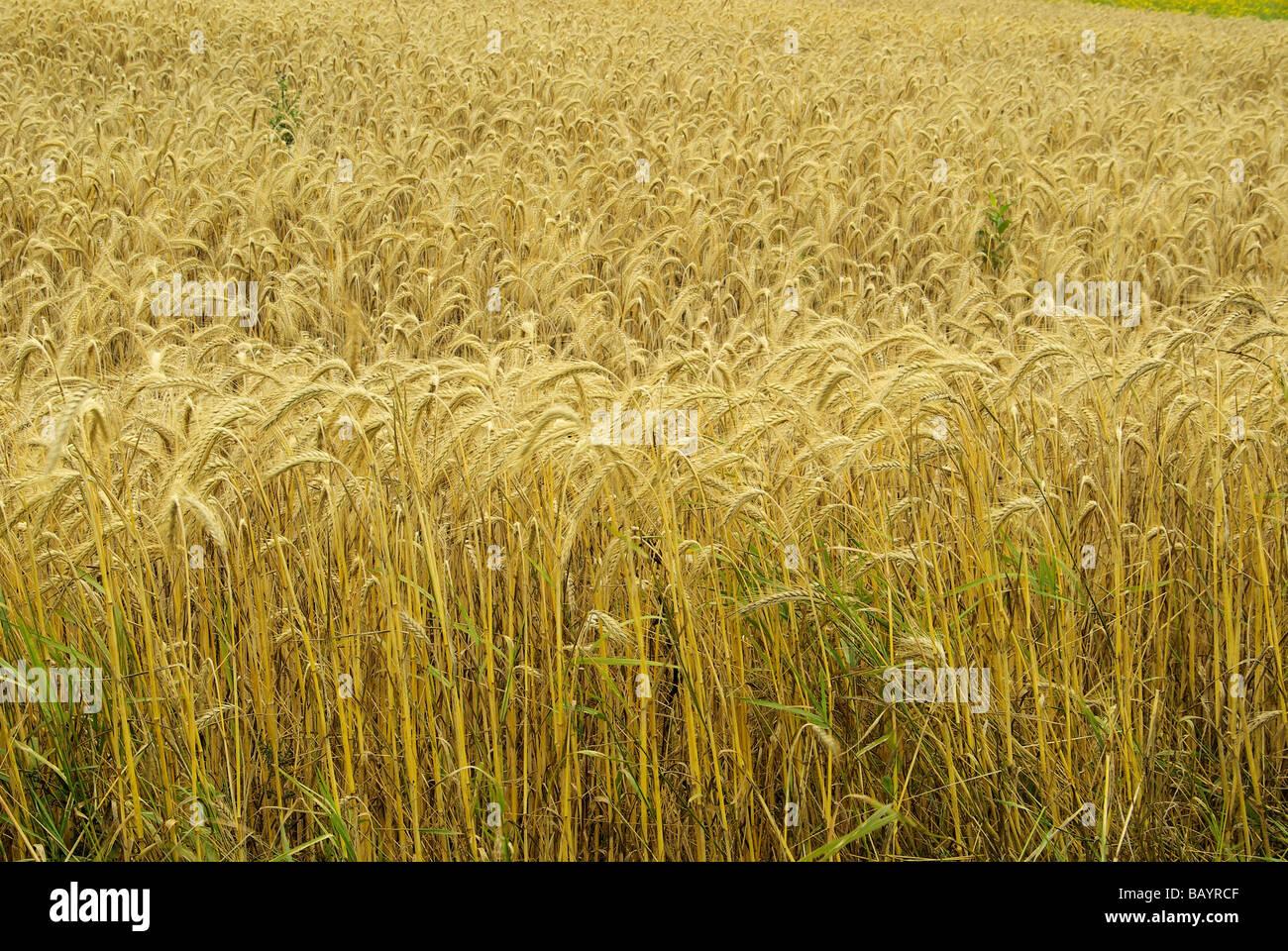Roggenfeld rye field 02 - Stock Image