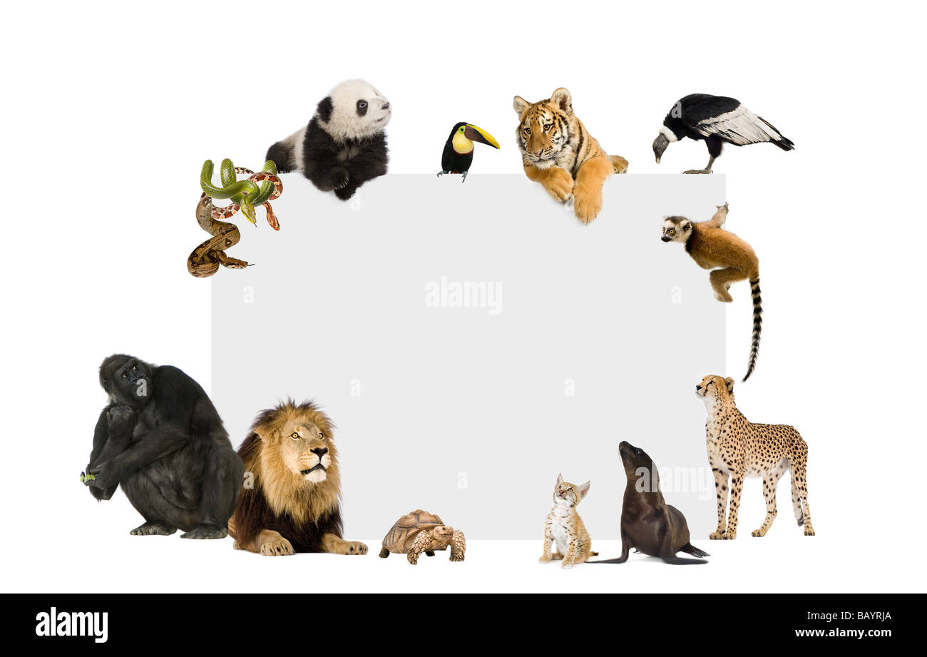 Group of wild animals around a blank poster in front of a white background Stock Photo