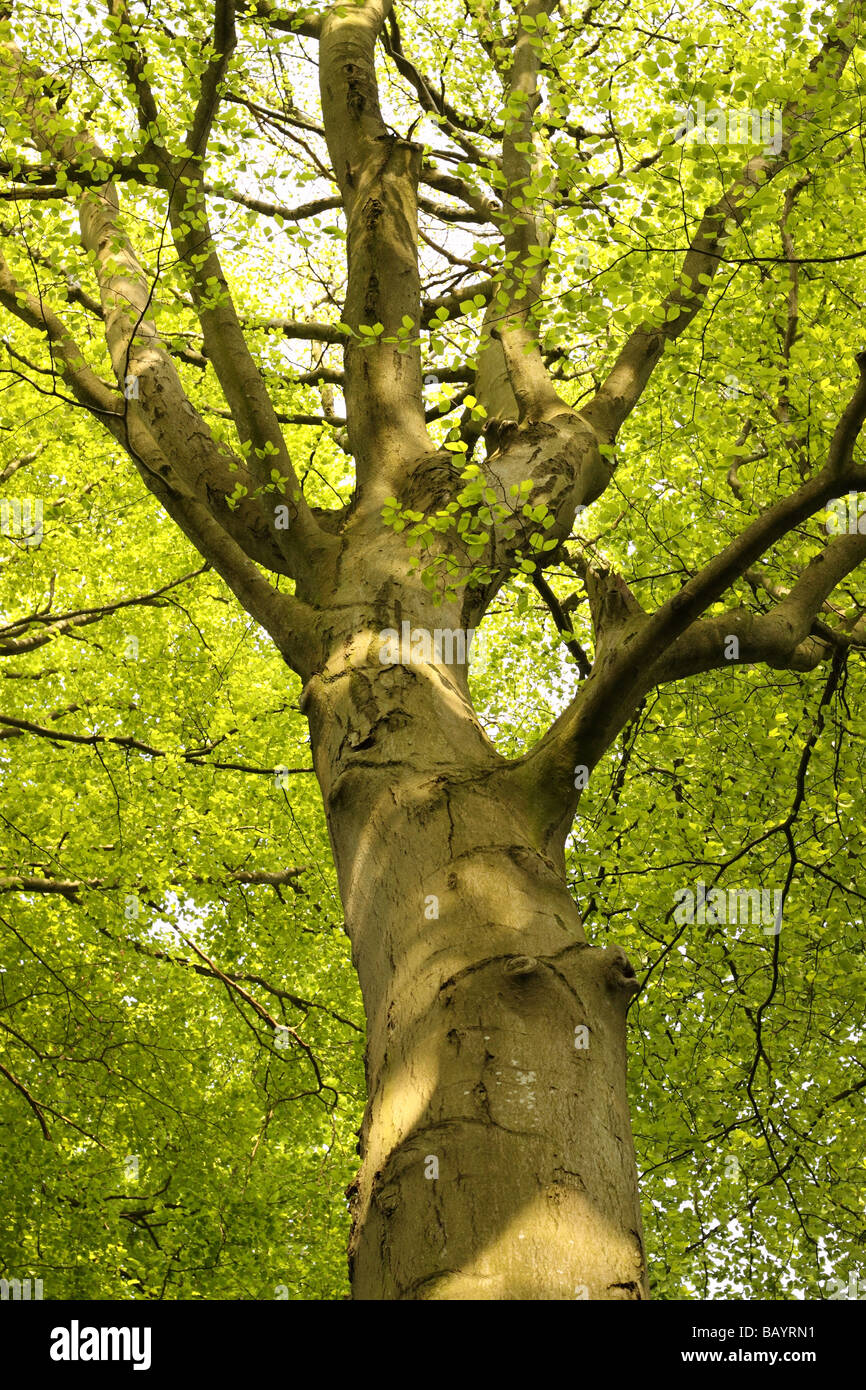 Tall beech tree lush green leaf canopy in May in Somerset England - Stock Image