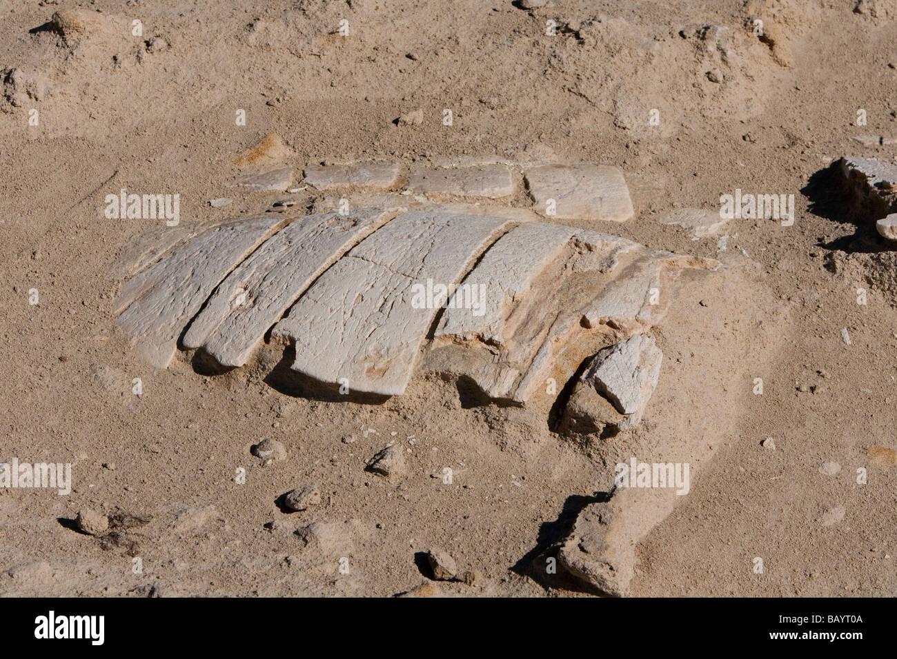 Fossiler Schildkrötenpanzer marine turtle skeleton fossil Punto Colorado Baja California Mexico - Stock Image