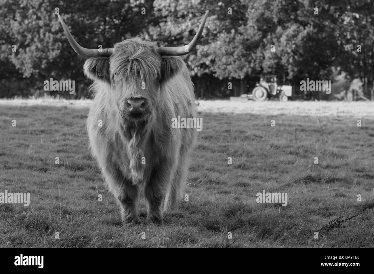 Brown Inquisitive Highland Cow In B&W - Stock Image