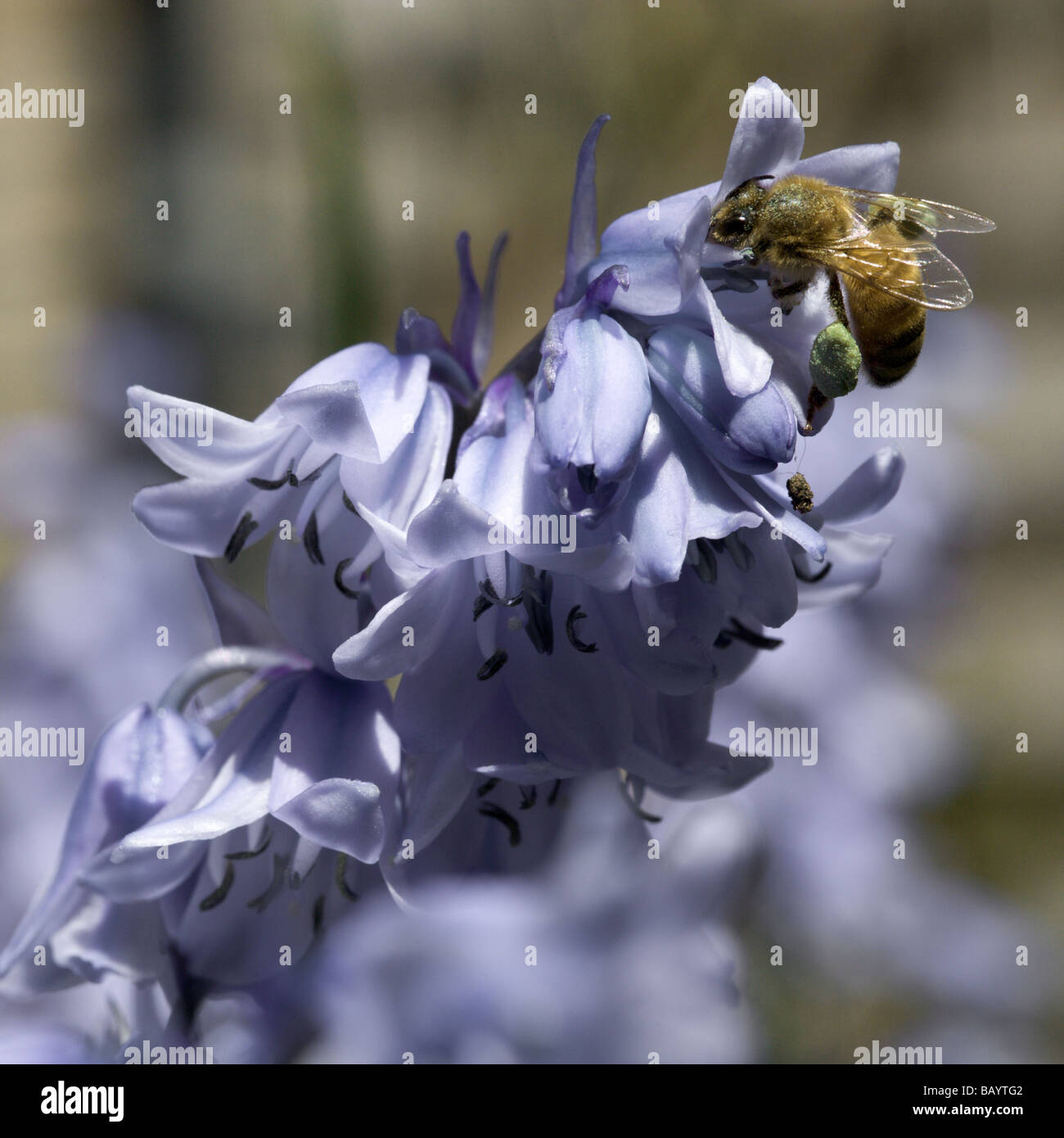 A honey bee collecting unusual green pollen from bluebells, A large quantity of green pollen is on its leg. - Stock Image