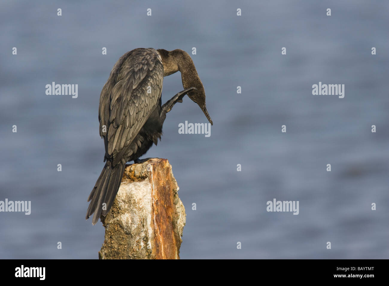 Adult Neotropic Cormorant (Phalacrocorax brasilianus) scratching its head with its foot - Stock Image