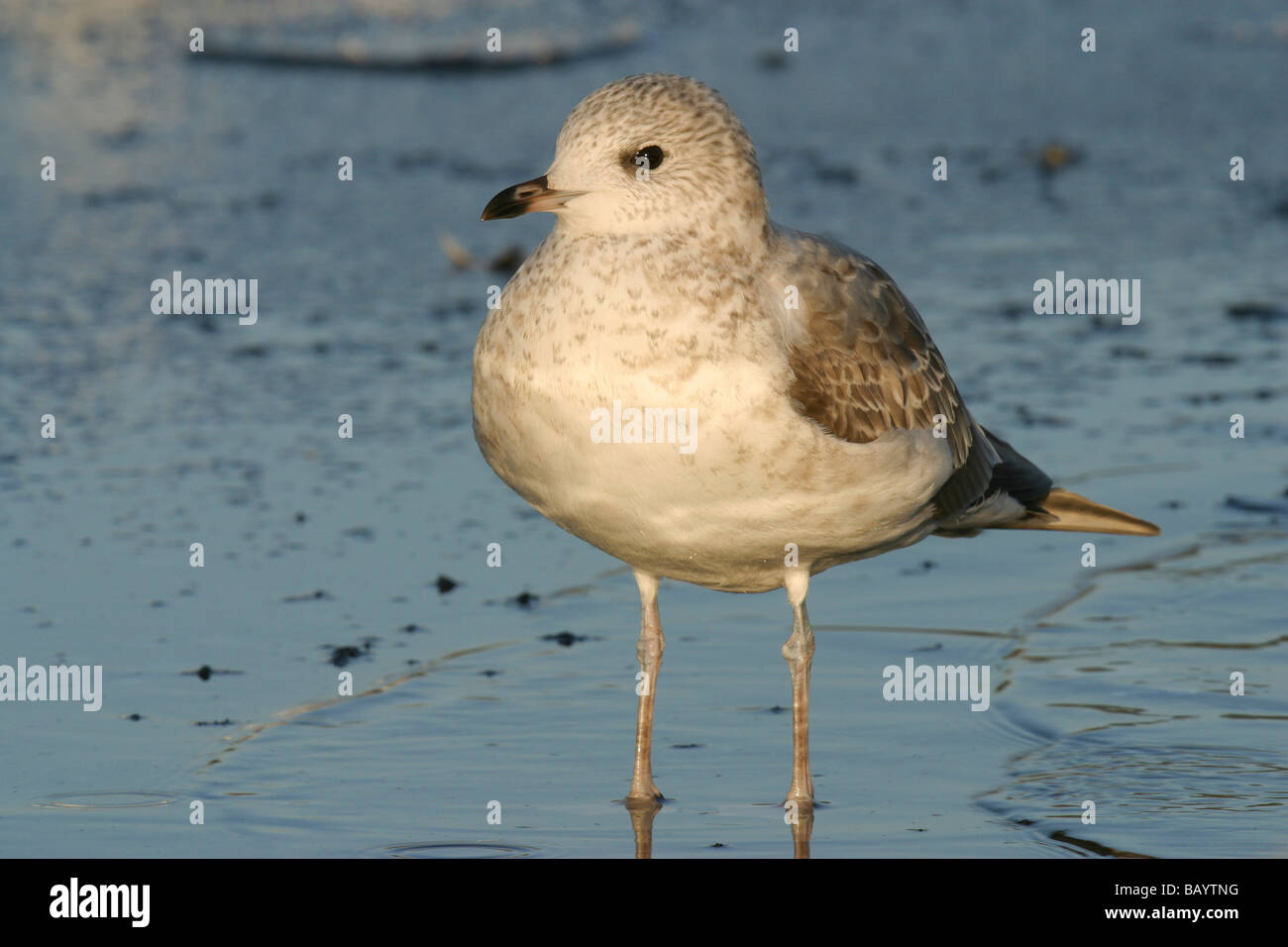 First winter Common Gull (Larus canus) standing on a frozen pond/lake - Stock Image