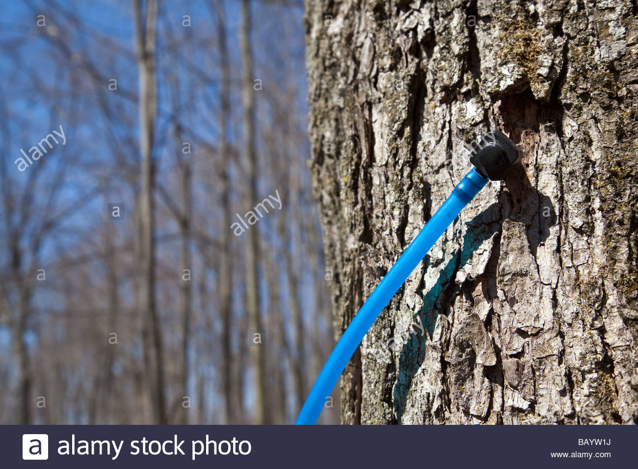 Tapped tree in maple sugar bush at Purple Woods Conservation area near Oshawa Ontario Canada Stock Photo