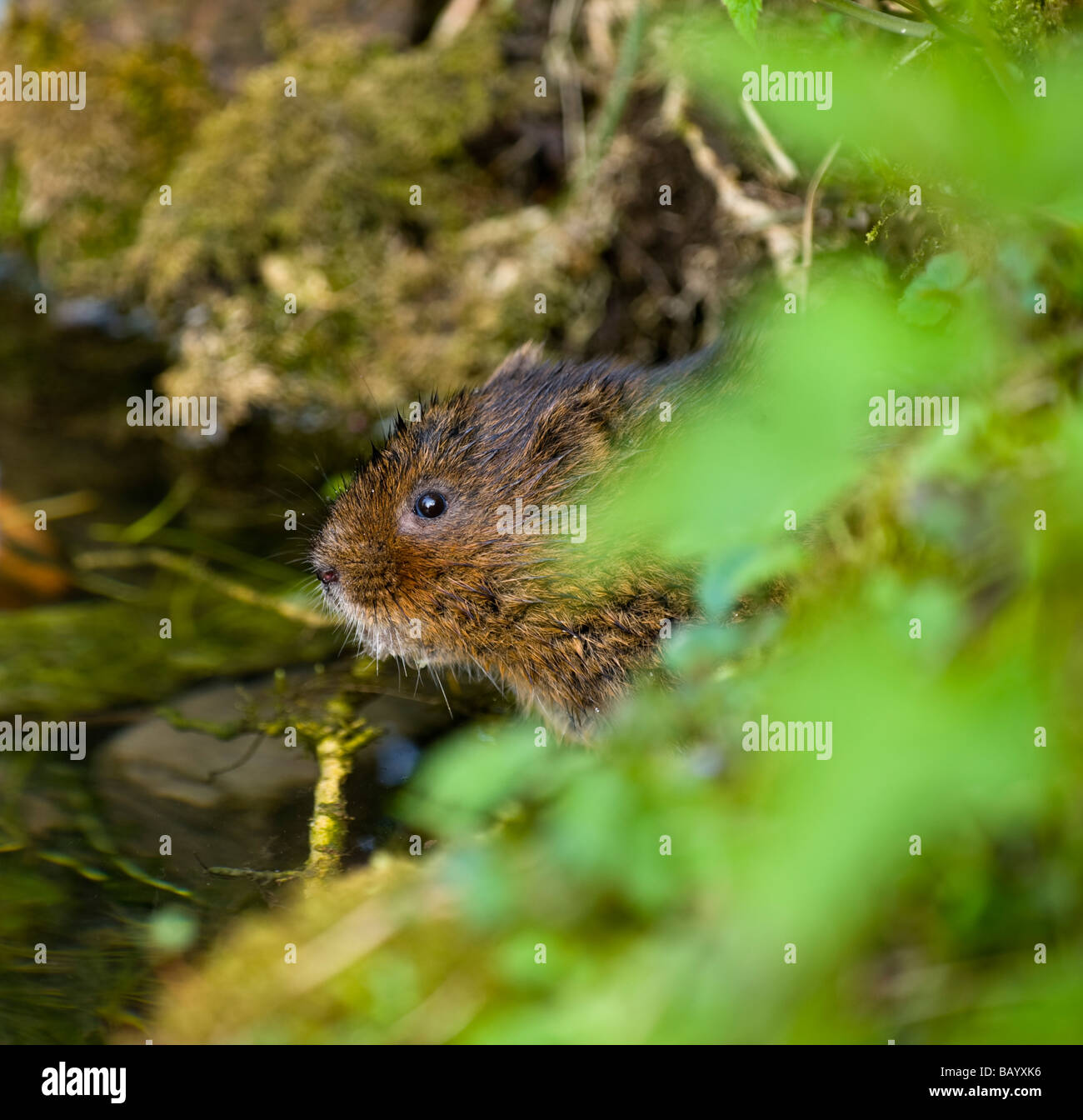 Water Vole Arvicola amphibius looking out of its burrow - Stock Image