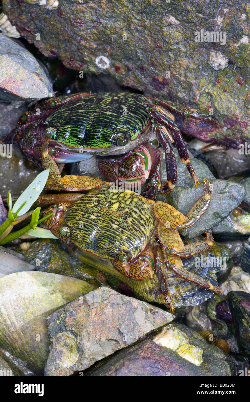 Shoreline Crabs (Pachygrapsus crassipes) in Hayward Shoreline Salt Marsh, California. - Stock Image