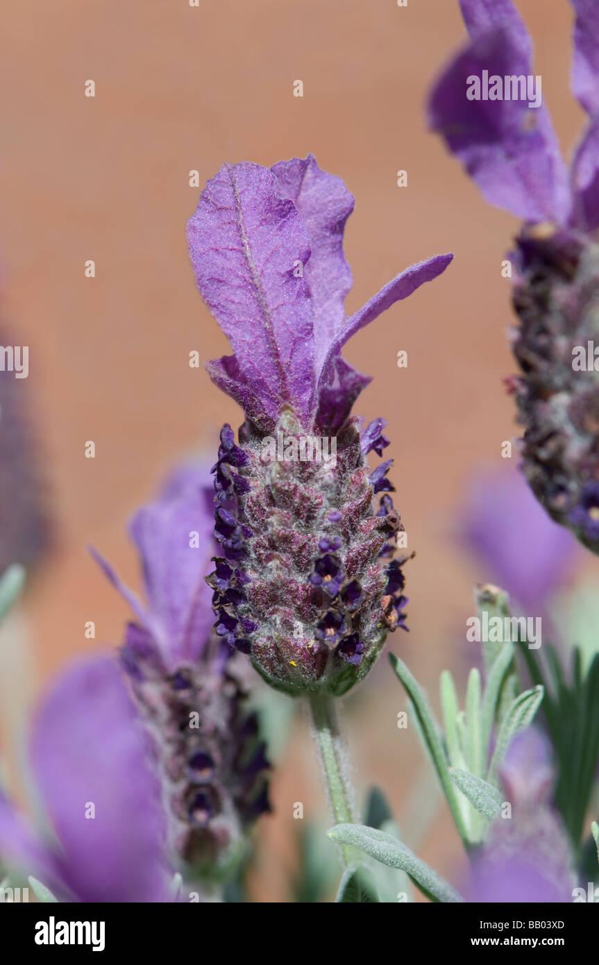 Lavandula stoechas French Lavender - Stock Image