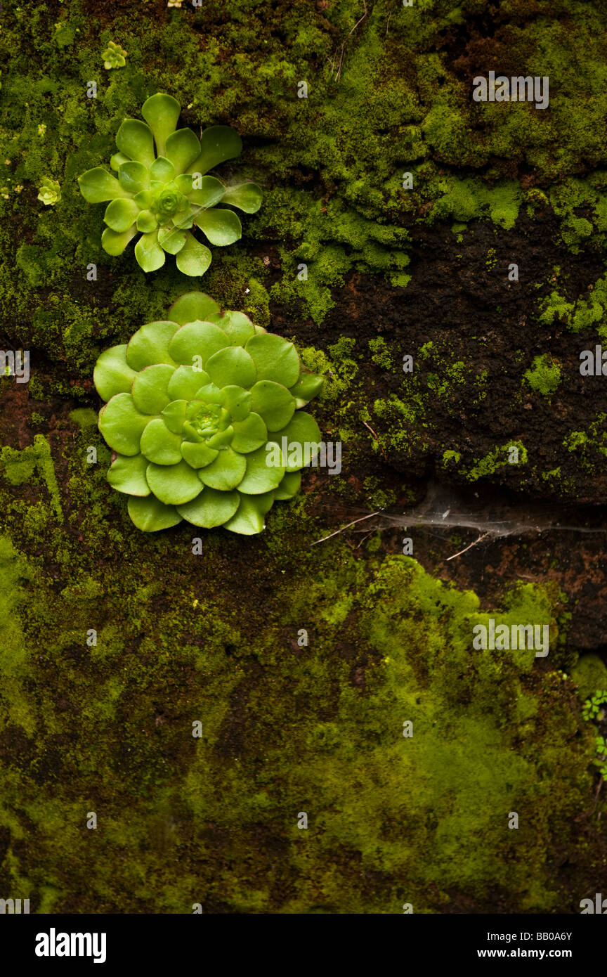 Succulents growing on a rock Stock Photo