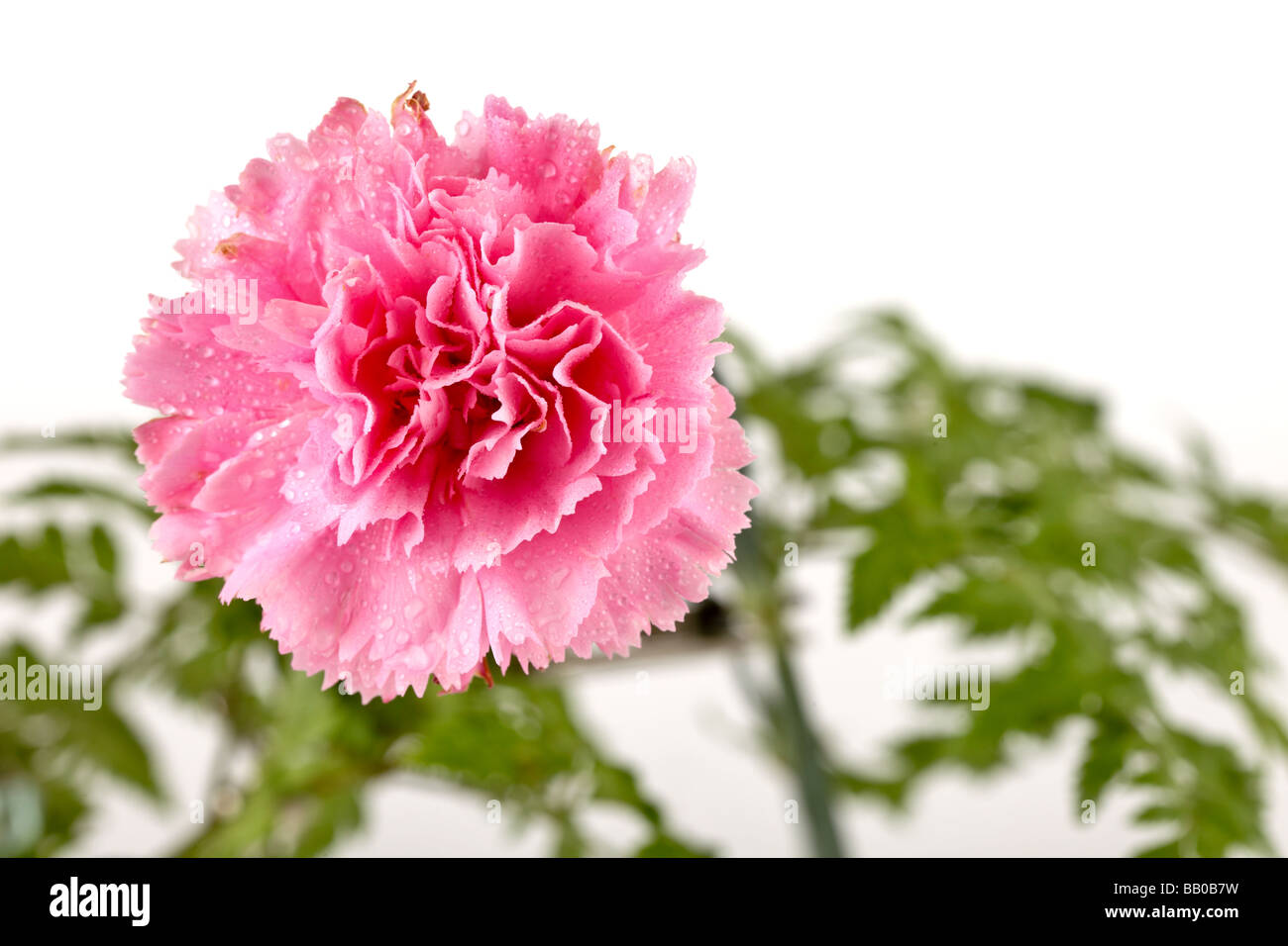 single carnation flower in bloom and isolated on background - Stock Image