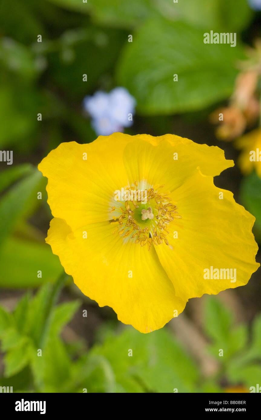 Yellow Poppy Stock Photos Yellow Poppy Stock Images Alamy