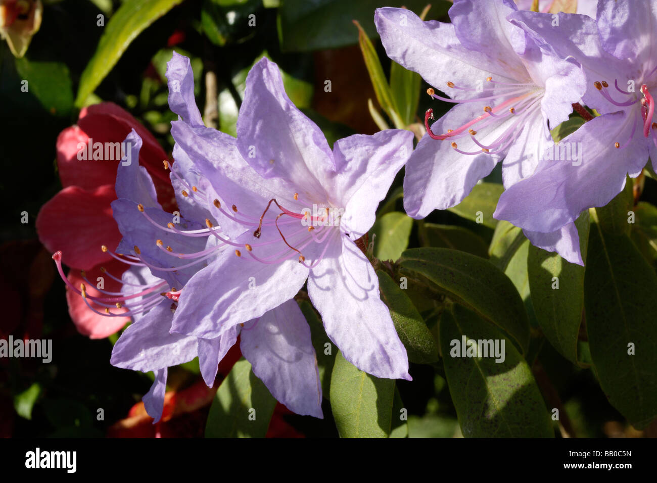 Rhododendron flowers - Stock Image