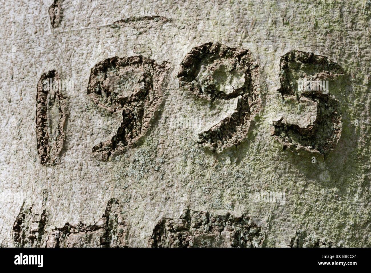1995 date scored into beech tree trunk bark - Stock Image