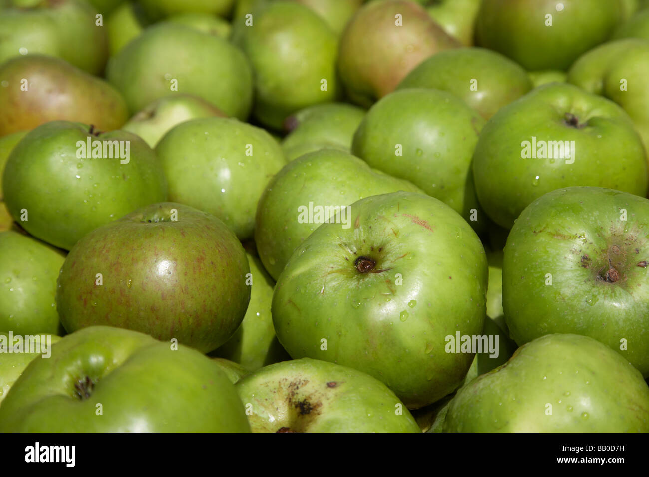 malus domestica Bramley Seedling apple crop of armagh bramley apples - Stock Image