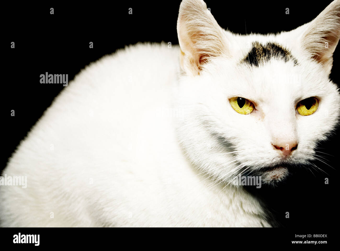 White cat with tabby marking - Stock Image