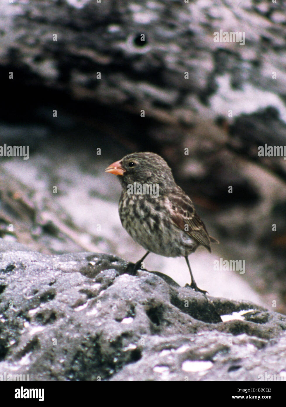 Galapagos Islands. Small Ground Finch 'Geospiza fuliginosa' on         Island. - Stock Image