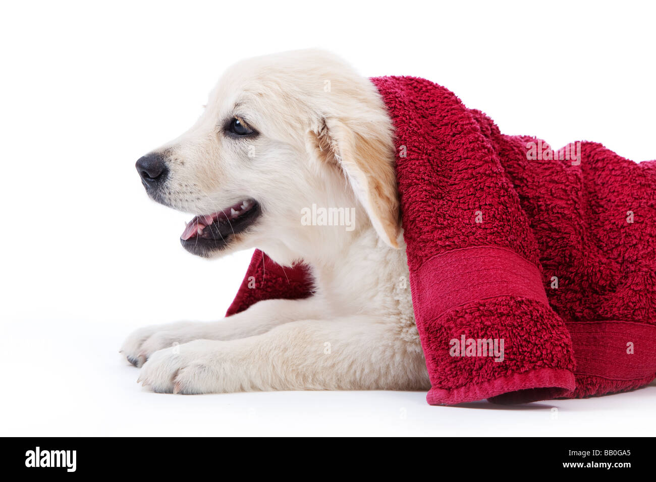 Golden retriever puppy covered by towel after bath - Stock Image