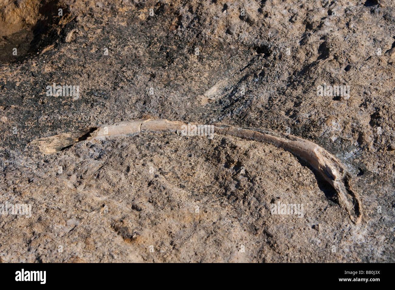 whale rib fossil Walknochen Rippe Fossilien Punto Colorado Baja California Mexico - Stock Image