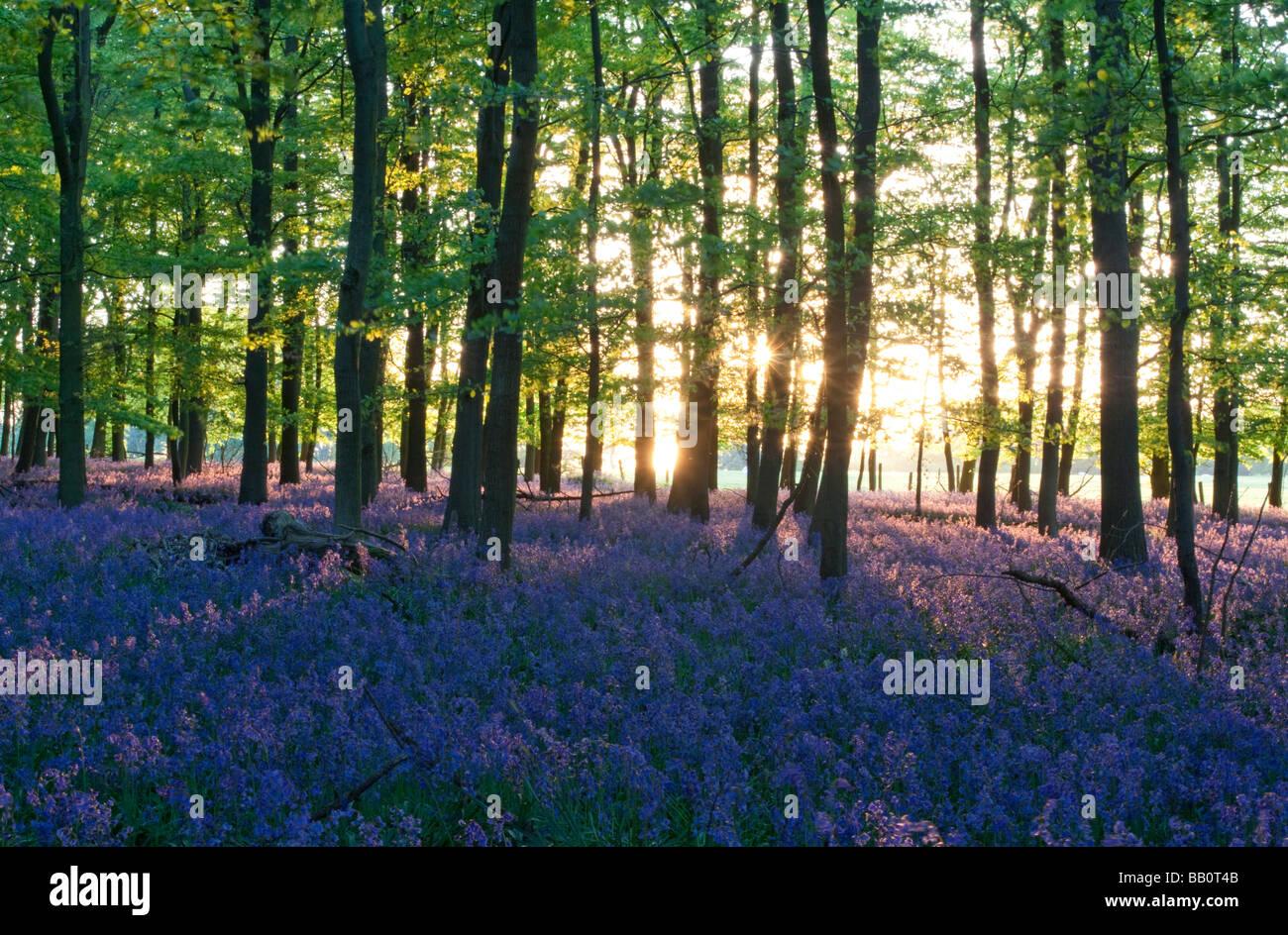 Ashridge Woods Bluebells - Buckinghamshire - Stock Image