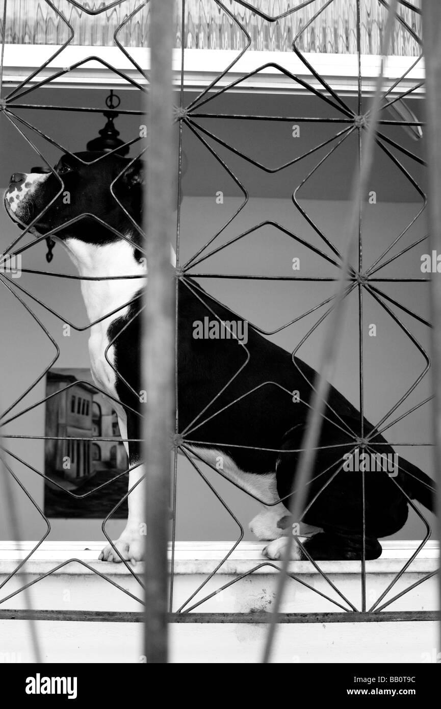 A dog sitting in the window of a house along the Escadaria Selaron stairs in Rio de Janeiro, Brazil. - Stock Image