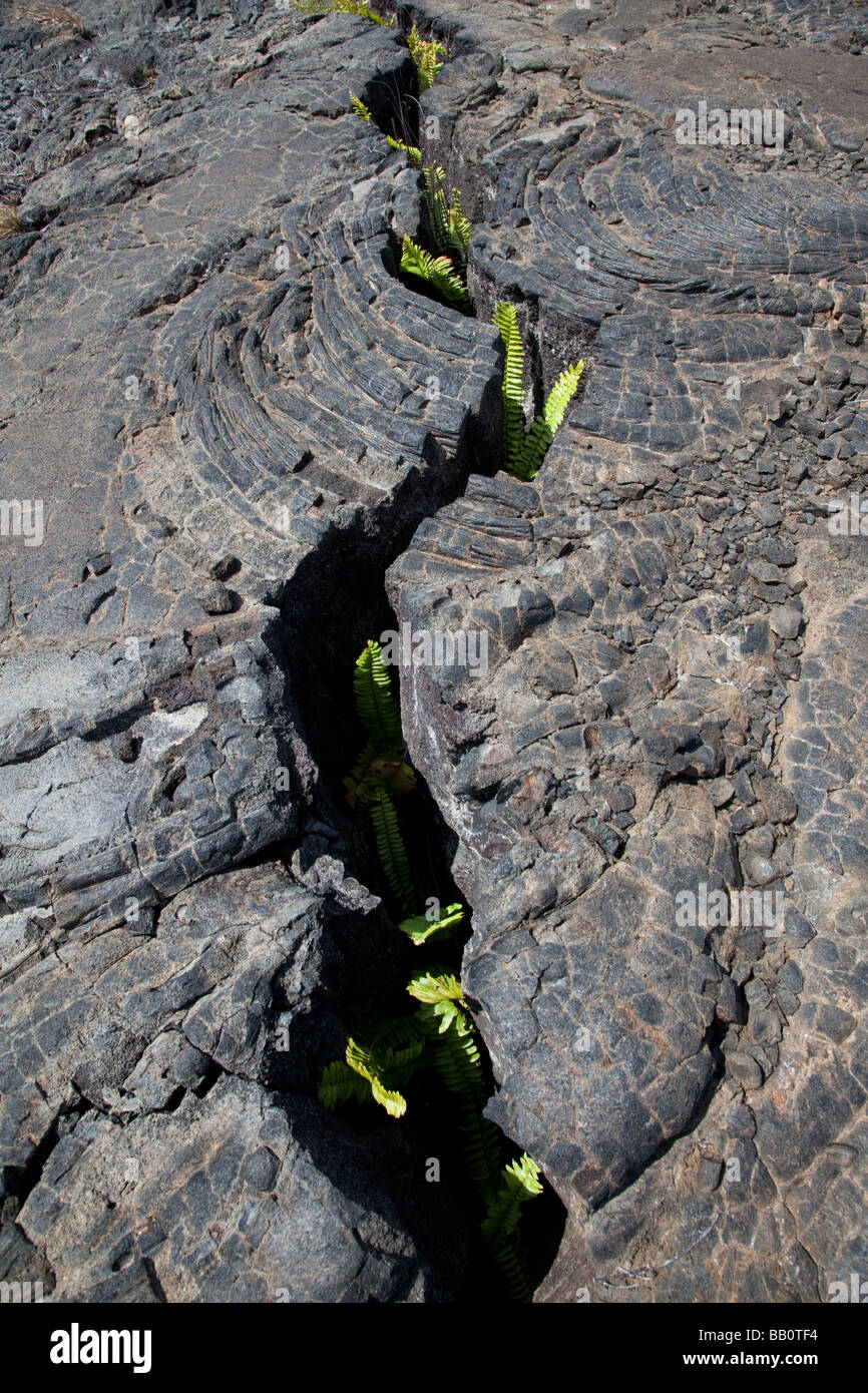 Ferns growing in lava crack - Stock Image