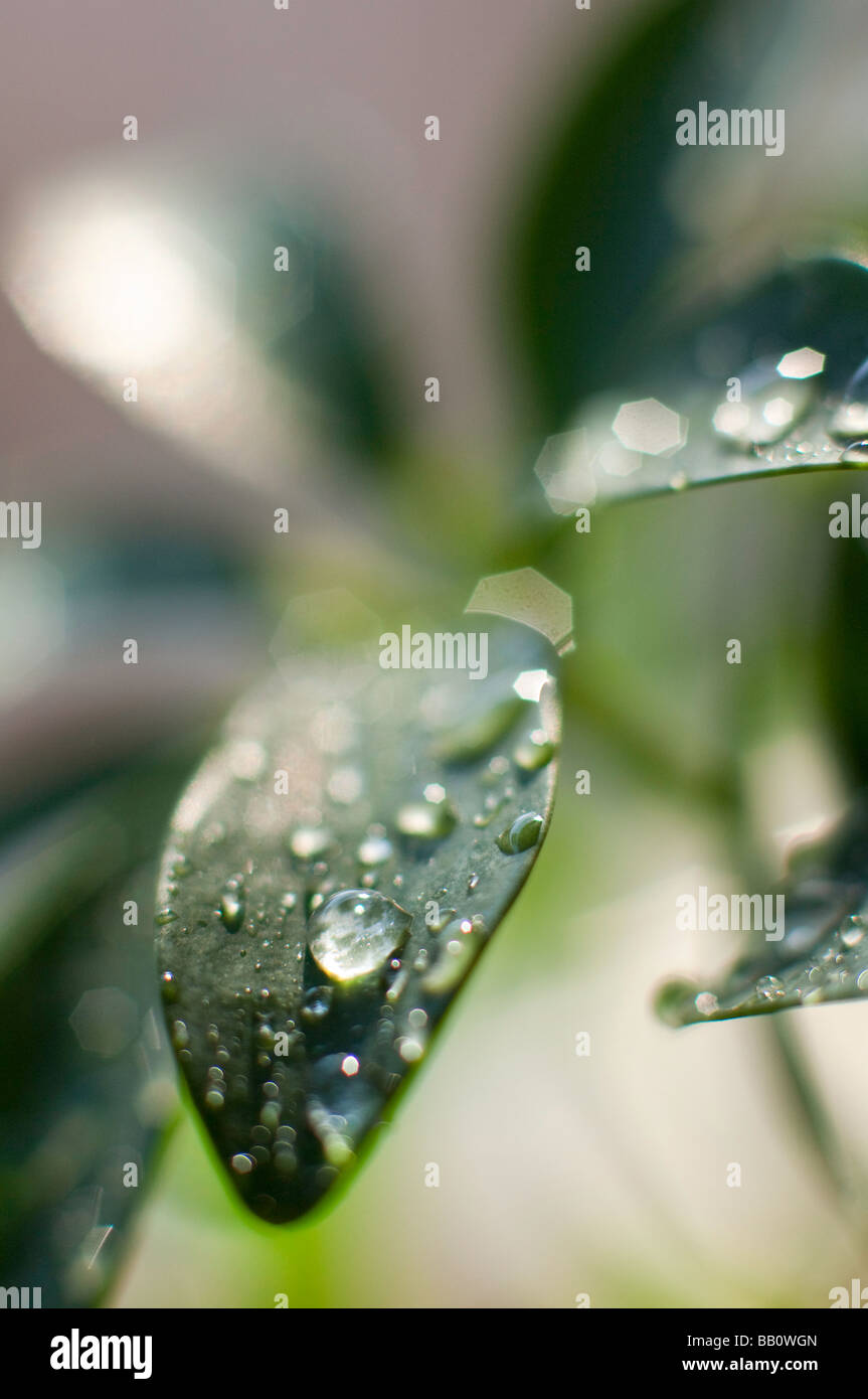 Water drops on a plant leaf. - Stock Image