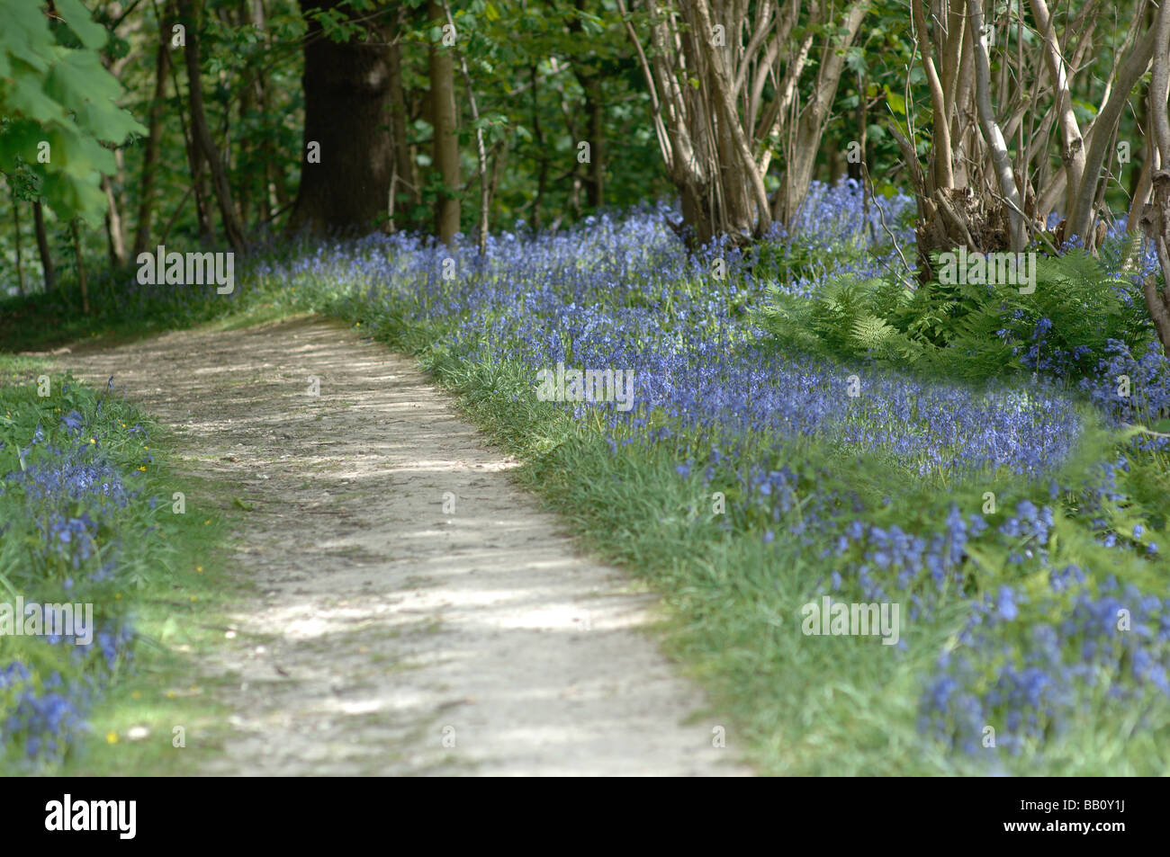 Bluebells in woods in Kent, England - Stock Image