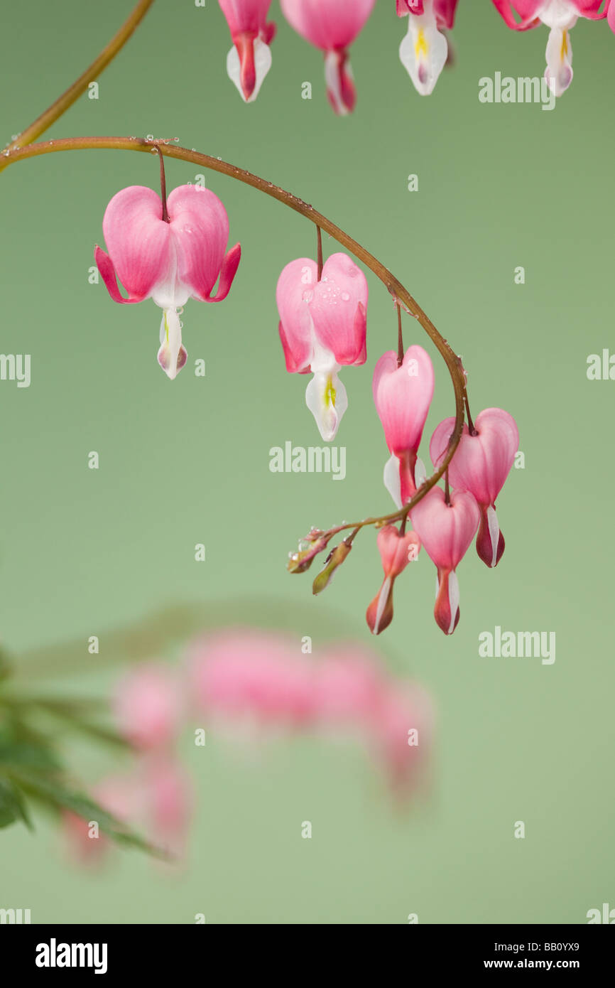 Studio still life floral Dicentra spectabilis heart shaped flowers on a green background - Stock Image